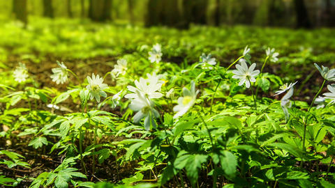 white flowers anemones in spring wood - shot in RA Footage