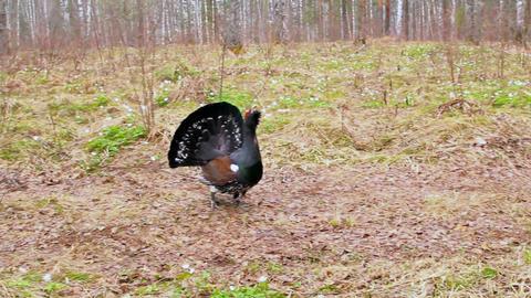 Wild Black Bird Attacks stock footage