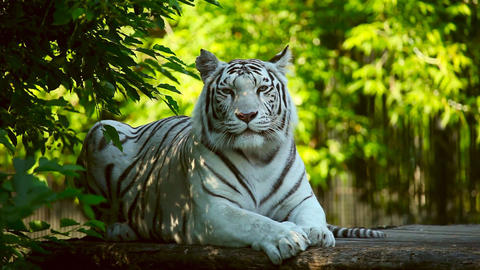 White tigress Footage