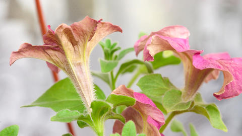 Blossom petunia Footage