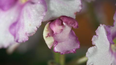 Blossom african violet Footage