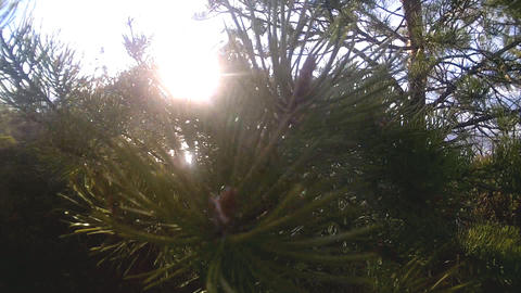 pine on the lake in sun beams at sunset Footage