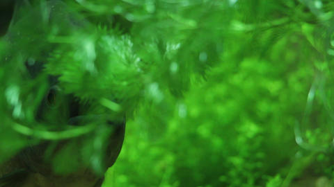 Lurking Sinister Pirana hiding in green 4 Footage