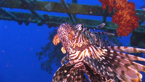 African lionfish on Shipwreck Footage