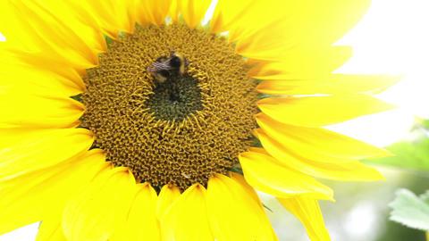nature sunflower bee 01 HD 30 Footage