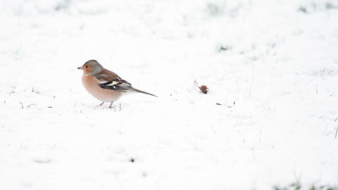 Chaffinch in Snow Live Action
