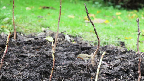 Robin On Branch stock footage