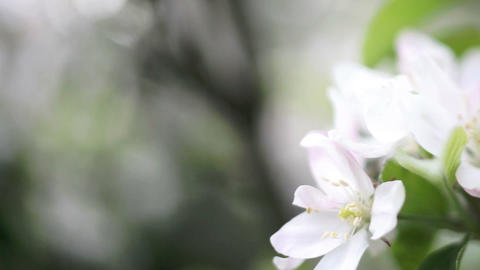 Spring Is Here, White Apple Blossoms Footage