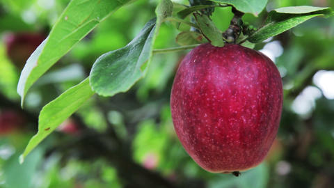 Deep Red Apple on Apple Tree Footage