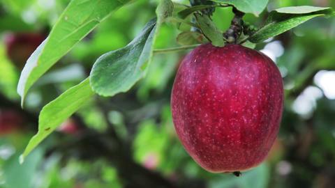 Deep Red Apple on Apple Tree Footage