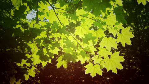 Leaves in the sun rays Footage