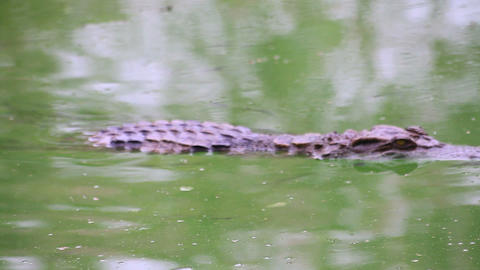 Crocodile on the river Footage