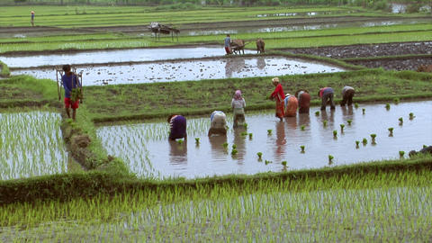 many woman plants rice Stock Video Footage