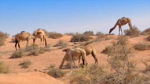 dromedary kiss in desert Stock Video Footage