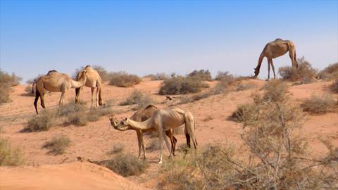 dromedary kiss in desert Stock Video Footage