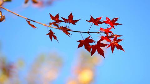 Autumn Leaves Stock Video Footage