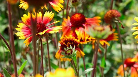 Flowering gailardia Stock Video Footage