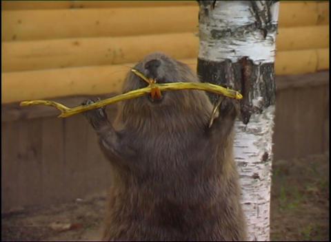 stuffed beaver Stock Video Footage