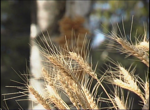 Rye cones Footage