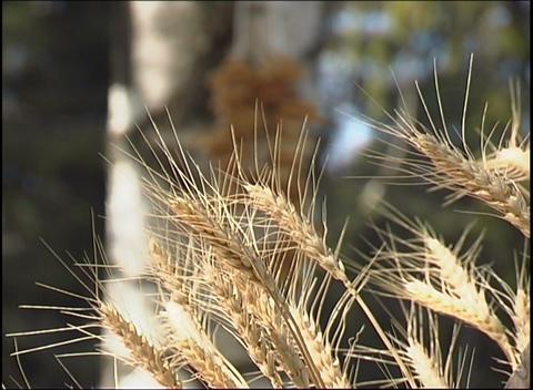 Rye cones Stock Video Footage
