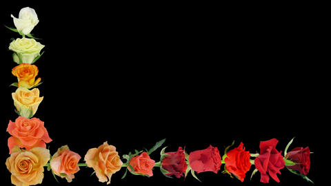 Montage of opening colorful roses time-lapse with alpha matte 7aaa Animation