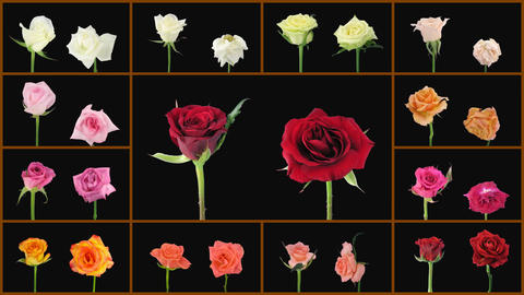 Montage opening and dying colorful roses wall 1 Animation