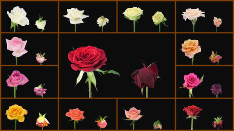 Montage opening and dying colorful roses wall 1 Stock Video Footage