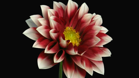 Time-lapse of blooming red-white dahlia with alpha matte 1d Stock Video Footage