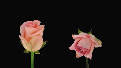 """Time-lapse of opening and dying """"Homerun"""" rose alpha matte 3d Footage"""