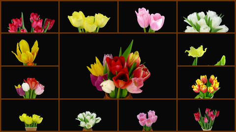 Montage of opening colorful tulips time-lapse with alpha matte 1 Footage