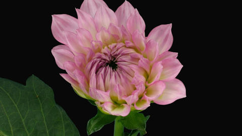 Time-lapse of blooming pink dahlia with alpha matte 4 Stock Video Footage