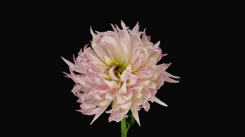 Time-lapse of dying pink dahlia 6b with ALPHA matte Stock Video Footage