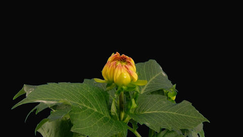 Time-lapse blooming pink yellow dahlia with alpha matte 1a Stock Video Footage