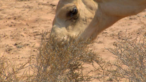 dromedary eat close 02 Stock Video Footage