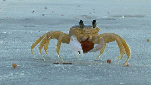 Crab on the Beach Footage