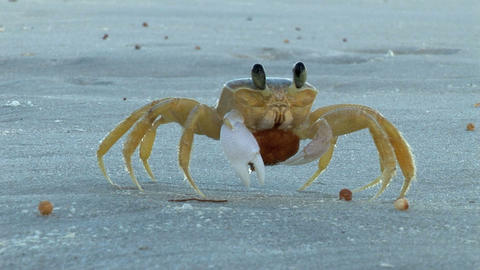 Crab on the Beach Stock Video Footage