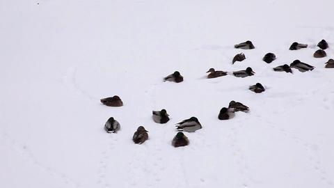 1590 Pan Dack on Snow HD J96 Footage