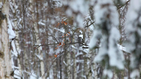 focus from alone leaf to fir under snow Stock Video Footage