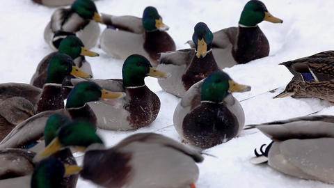 Ducks fight for food Footage