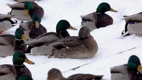 Ducks fight for food Stock Video Footage