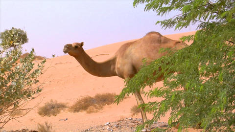 camel watch around Stock Video Footage