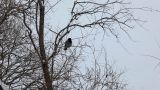 Crow Fly Out In Winter Park stock footage