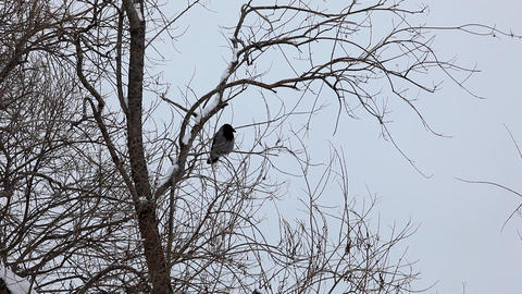 crow fly out in winter park Stock Video Footage
