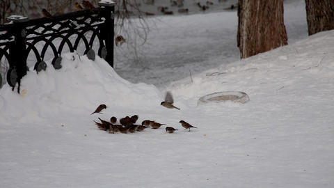 sparrow feed and fly out in winter park Footage