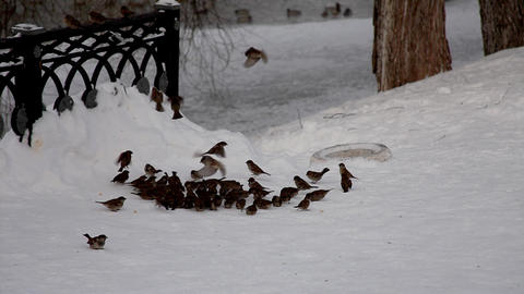 sparrow feed and fly out in winter park Stock Video Footage