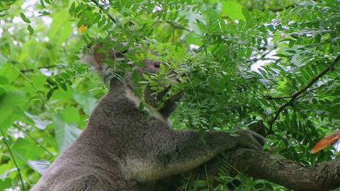 Koala Bear Climbing Stock Video Footage