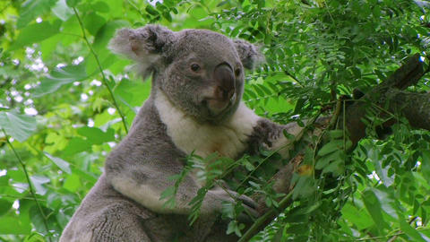 Koala Bear Climbing Stock Video Footage