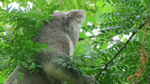 Koala Bear Climbing 03 Stock Video Footage