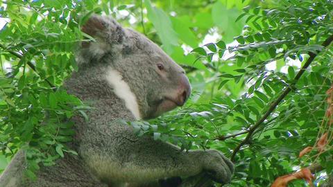 Koala Bear Climbing 03 ภาพวิดีโอ