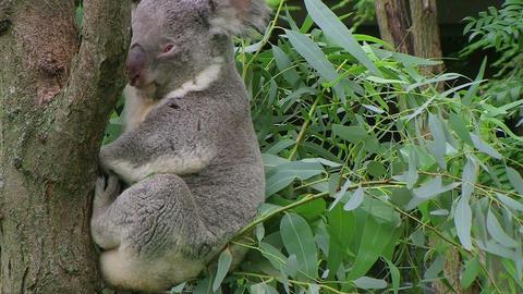 Koala Bear Waking Up Stock Video Footage